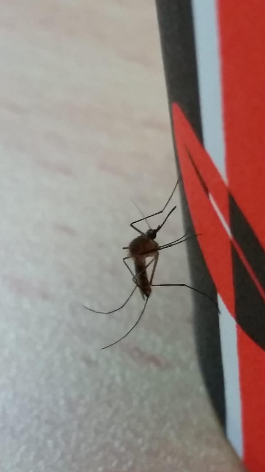 יתוש הקולקס
