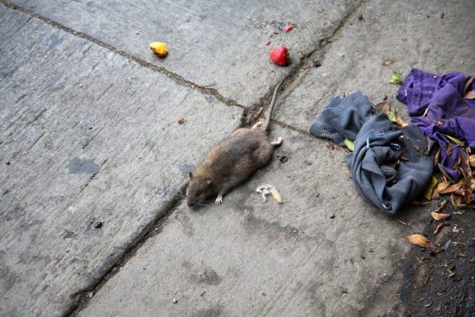 גבעתיים: ריבוי תלונות על עכברים ברחוב 'שנקין' בעיר