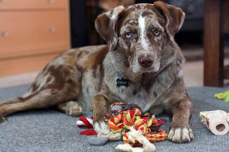 כלב עם צעצועיו
