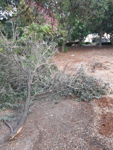 העץ בגינה ליד בית ספר אלון