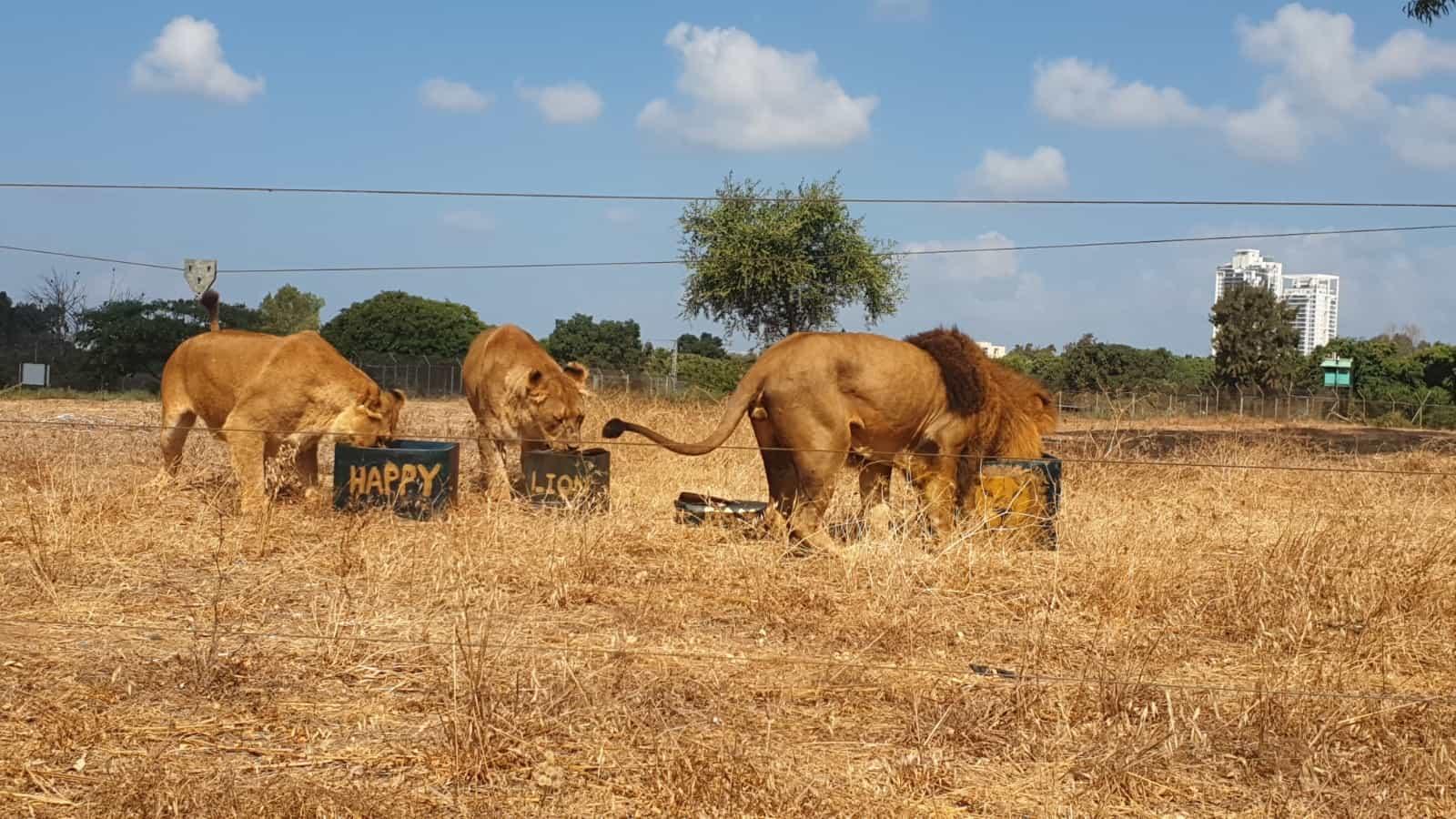 אריות בספארי. צילום: באדיבות דוברות ספארי רמת גן